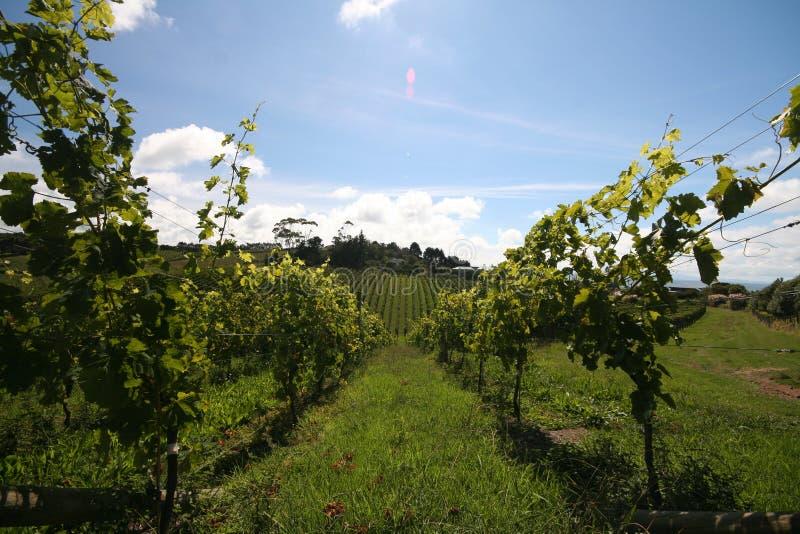низкие рядки осматривают виноградник стоковые фото