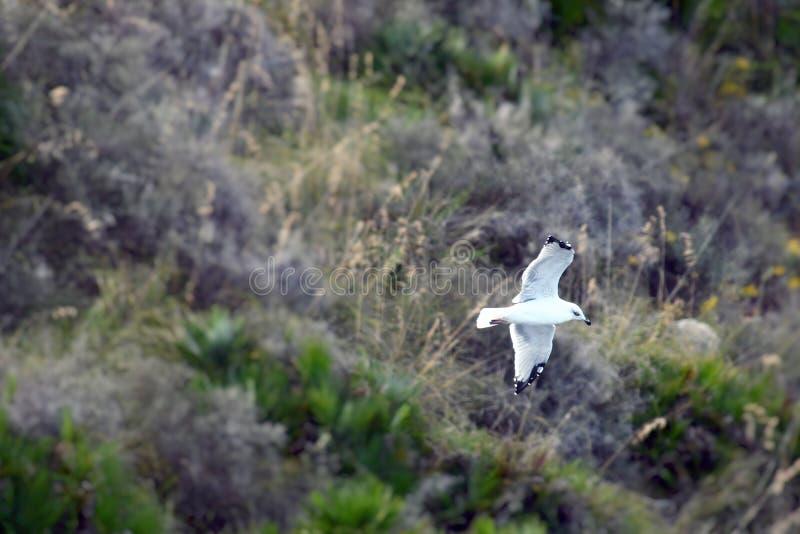 Низкий уровень летания чайки над скалой стоковая фотография rf
