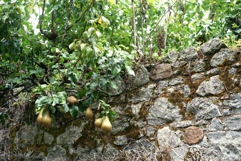 Низкое вися посягательство плода над средневековой стеной стоковое фото rf