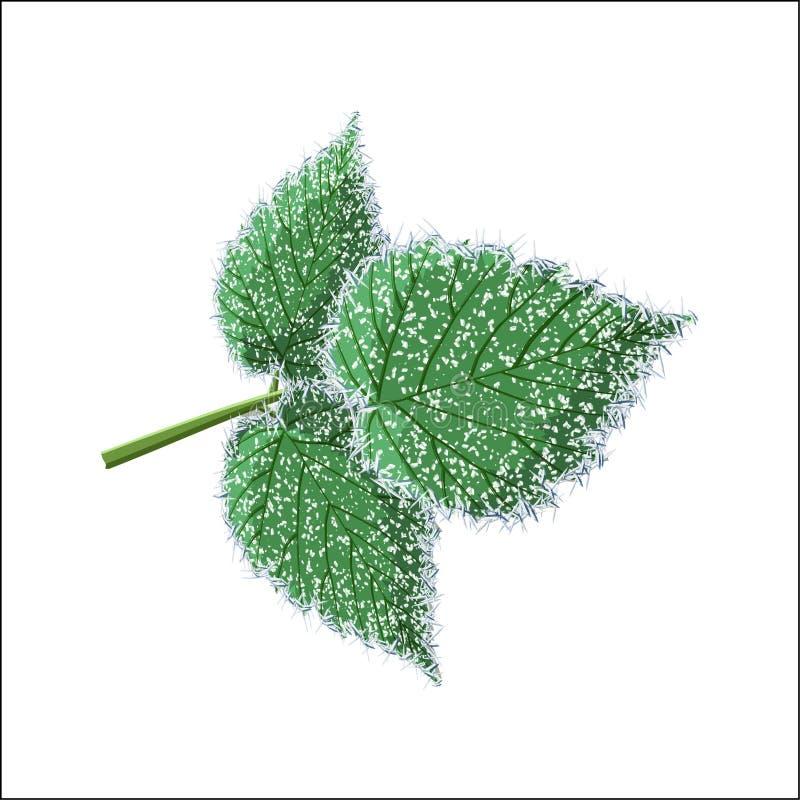 Низложение заморозка утра, мягкая гололедь на листьях поленики изолированных на белой предпосылке стоковые фото