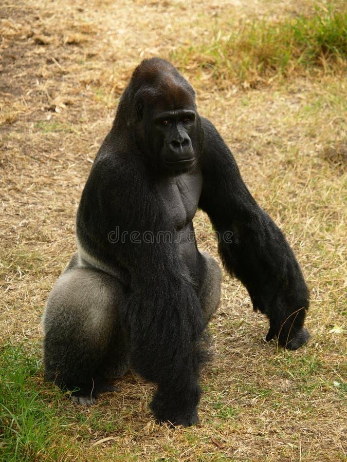 низменность гориллы западная стоковые изображения
