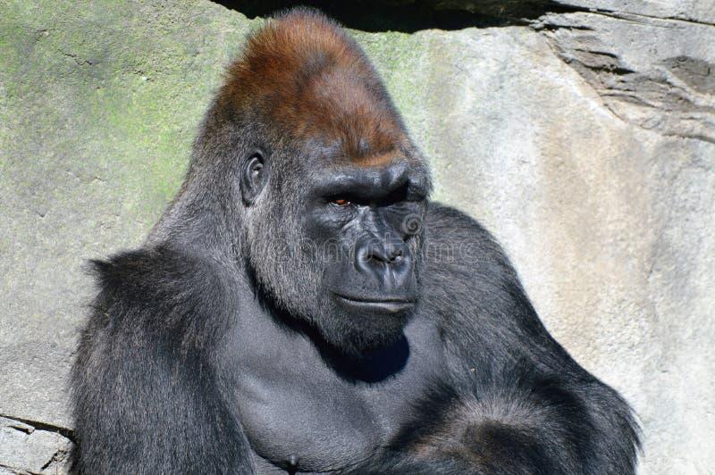 низменность гориллы западная стоковое фото