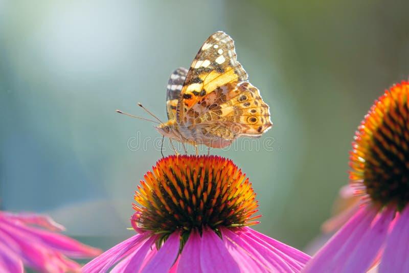 Нимфалиды бабочки на цветке стоковое фото rf