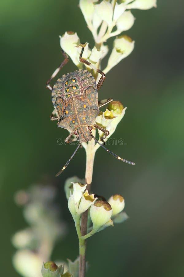 Нимфа Stinkbug стоковое фото rf
