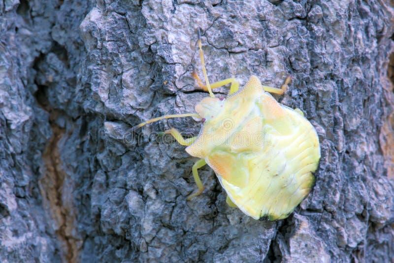 Нимфа Stinkbug стоковые фото