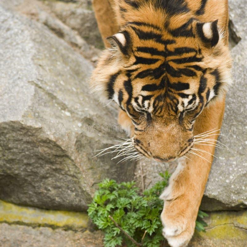 Нисходящий тигр стоковые фотографии rf