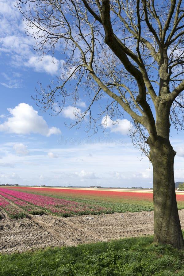нидерландские тюльпаны стоковая фотография rf