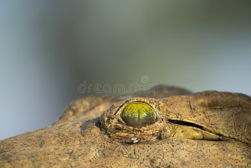 Нил Crocodile& x27; глаз s & x28; Niloticus& x29 крокодила; стоковое фото