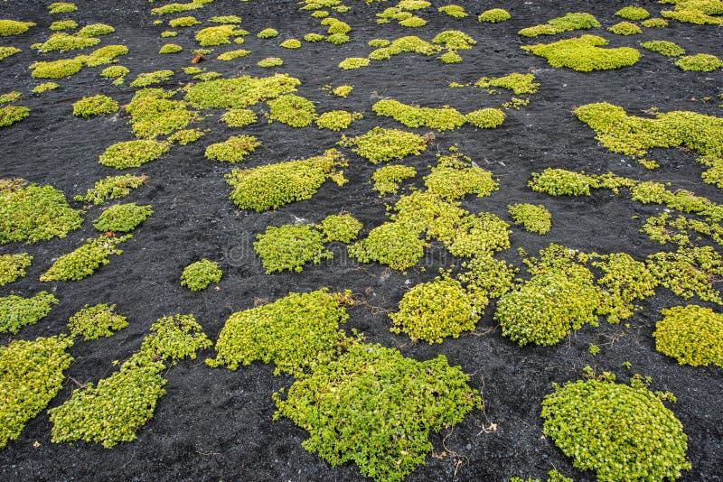 Новая жизнь в поле лавы стоковые изображения rf