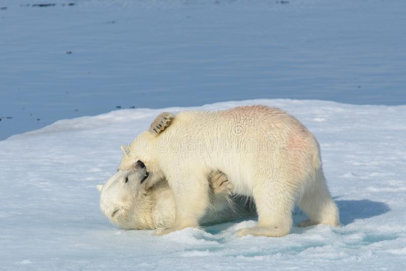 2 новичка полярного медведя играя совместно на льде стоковое изображение