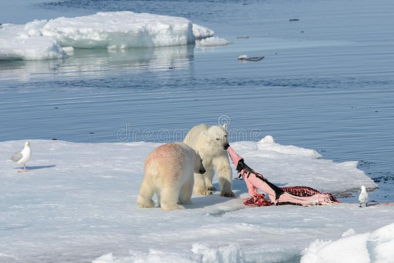 медведь отражающийся на льду фото автор составе