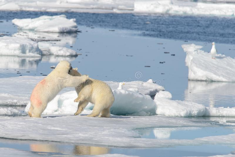 2 новичка полярного медведя играя совместно на льде стоковое фото rf