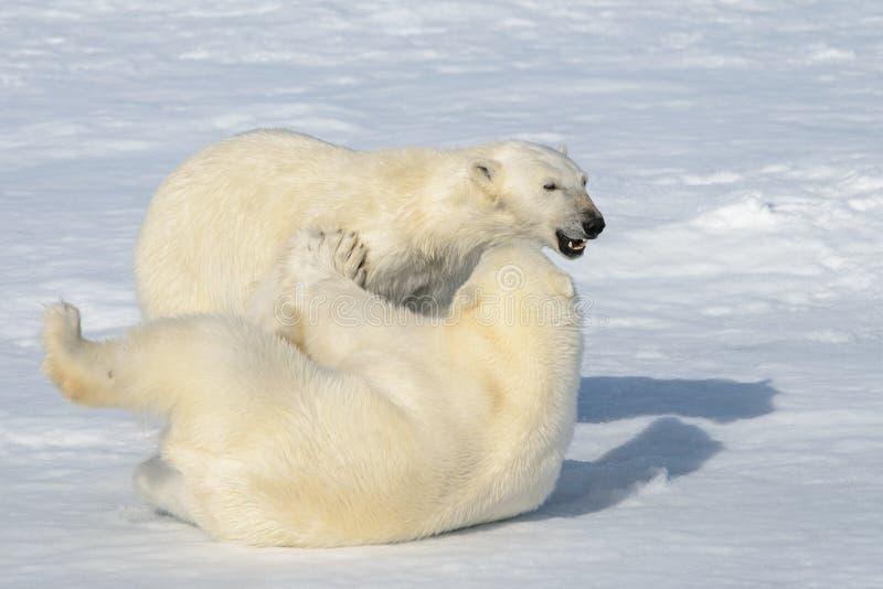 2 новичка полярного медведя играя совместно на льде стоковое изображение rf