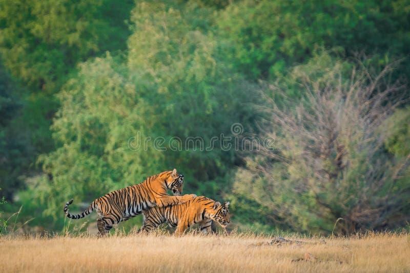 2 новичка тигра играя, бежать и уча воюя навыки в красивой зеленой предпосылке во время ranthambore сафари муссона столба стоковые изображения rf