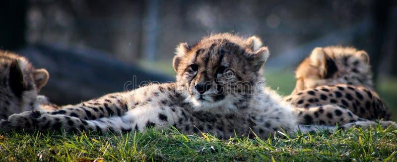 Новички гепарда кладя с фото семьи расслабляющим стоковое фото