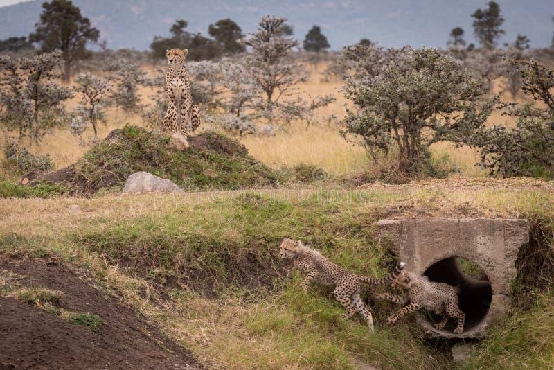 Новички гепарда, который побежали от трубы около матери стоковое изображение