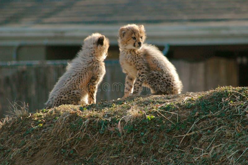 новички гепарда Стоковые Изображения RF