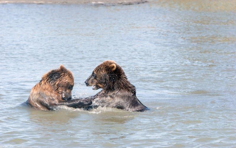 новички медведя коричневые стоковое фото rf