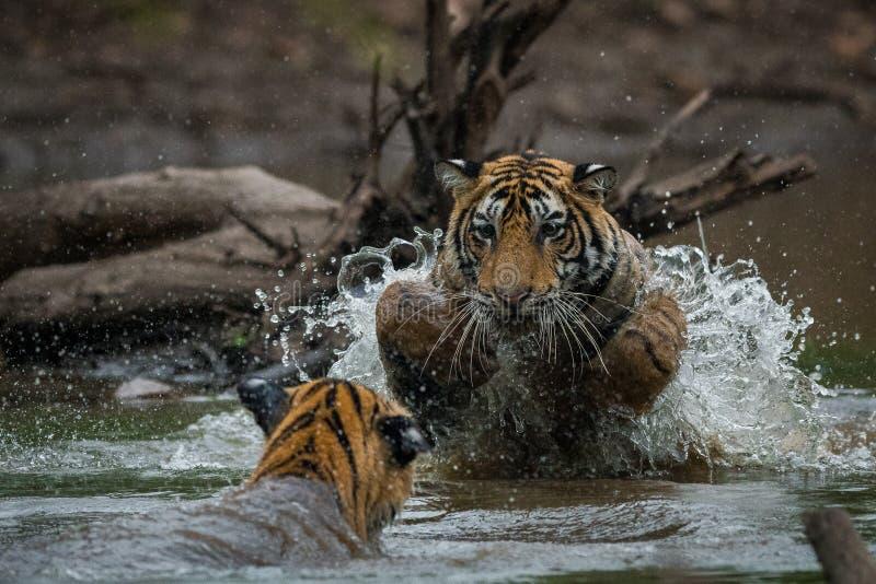 Новички тигра воюя и играя в воде с выплеском стоковые изображения rf
