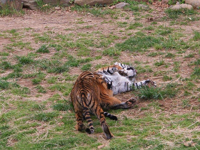 Новички тигра играют в зоопарке стоковые изображения