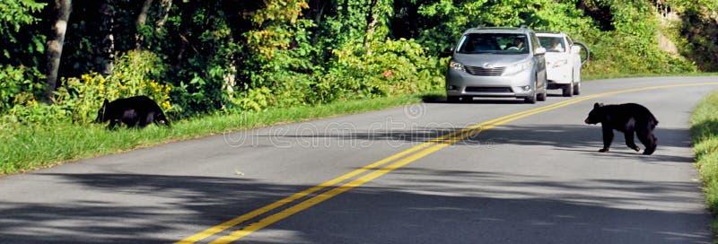Новички черного медведя пересекая дорогу стоковое изображение