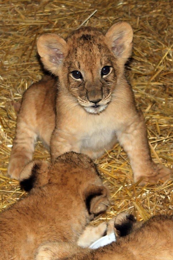 Новички льва сидят стоковые изображения rf