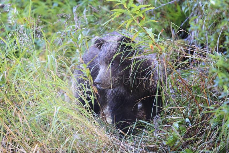 Новичок бурого медведя в траве стоковые изображения rf
