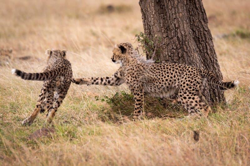 Новичок гепарда гонит другой круглый ствол дерева стоковая фотография