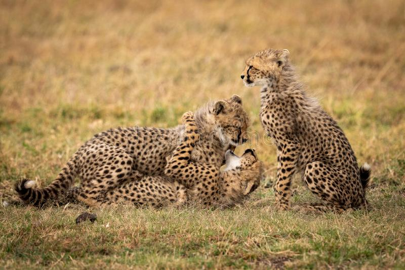 Новичок гепарда сидит пока другие бой игры стоковая фотография rf