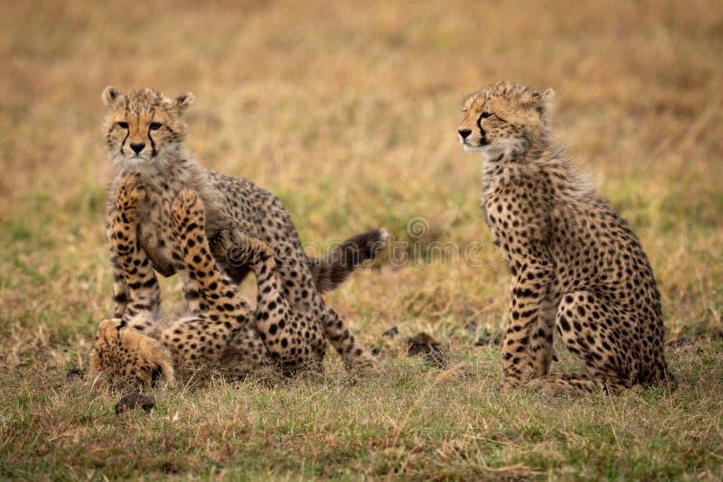 Новичок гепарда сидит по мере того как другие бой игры стоковые изображения rf