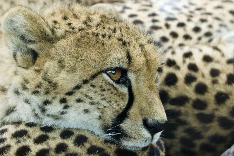 новичок гепарда стоковое изображение rf