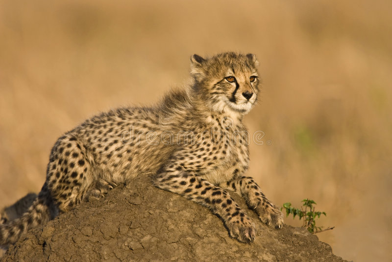 новичок гепарда стоковая фотография rf