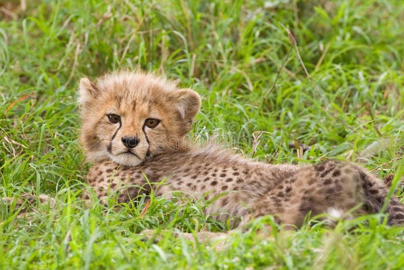 новичок гепарда стоковое фото rf