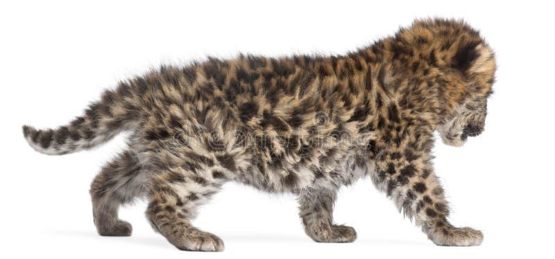 Новичок идя, orientalis леопарда Амура pardus пантеры, 6 недель старых стоковое фото