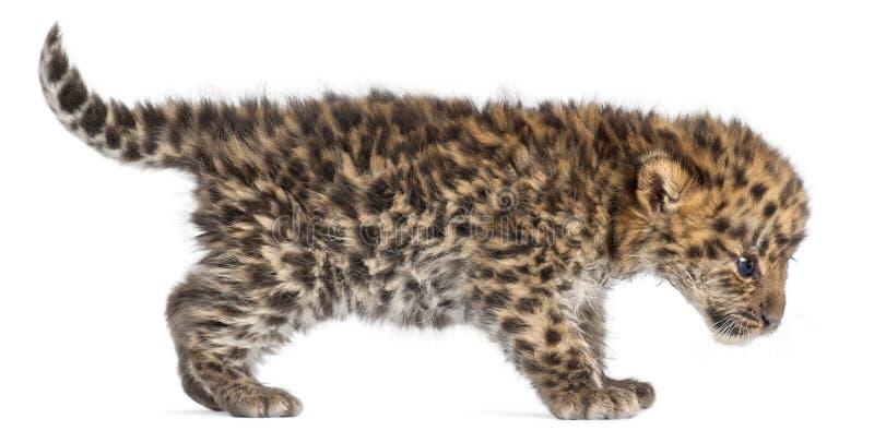 Новичок идя, orientalis леопарда Амура pardus пантеры, 6 недель старых стоковые изображения rf