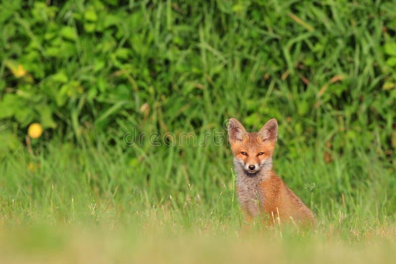 Новичок красной лисицы стоковая фотография rf