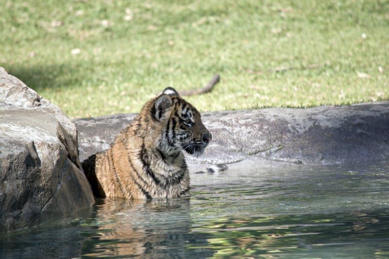 Новичок тигра стоковое изображение