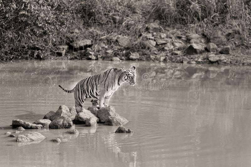 Новичок тигра Sonams женский на национальном парке Tadoba, Индии стоковая фотография rf