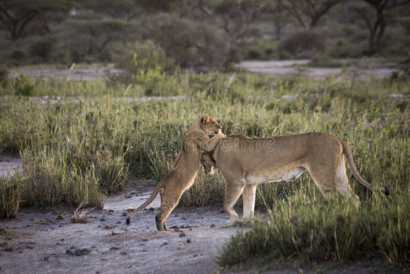 Новичок льва играя с львицей на банках озера Masek, Serengeti, стоковая фотография rf