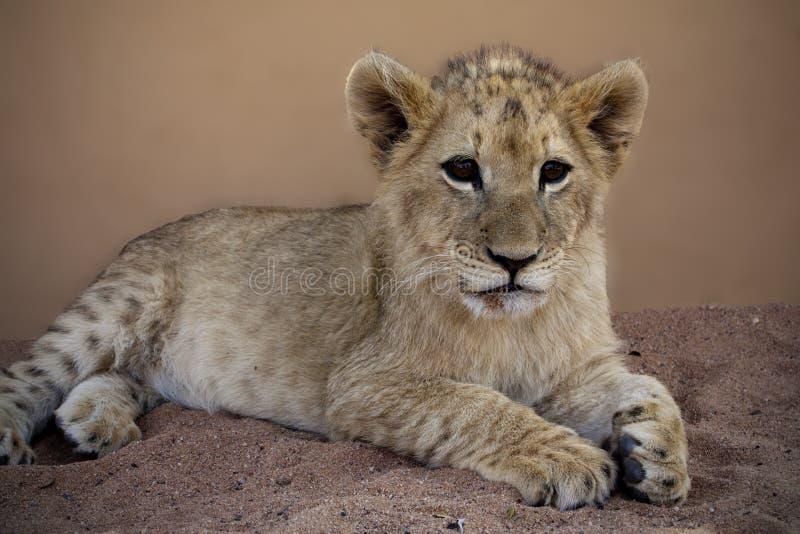 Новичок льва на маме Дао в Lephalale стоковое изображение rf