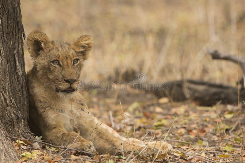 Новичок льва отдыхая против ствола дерева стоковые изображения rf