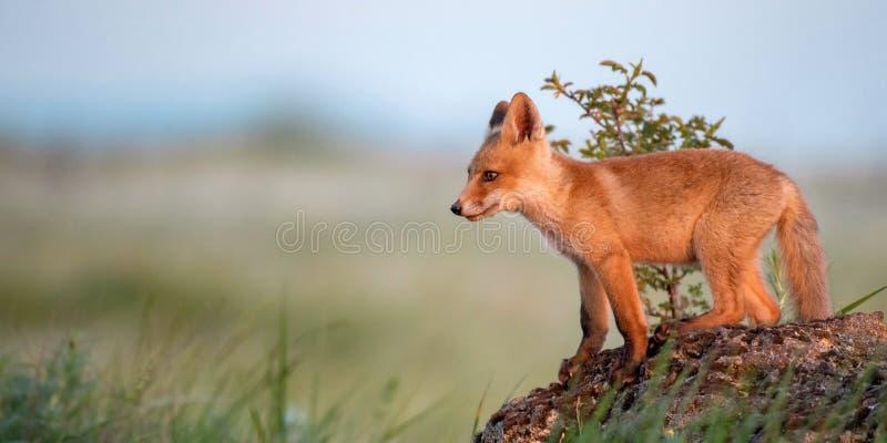 Новичок Fox Молодой красный Fox стоит на утесе в выравниваясь свете стоковое изображение rf