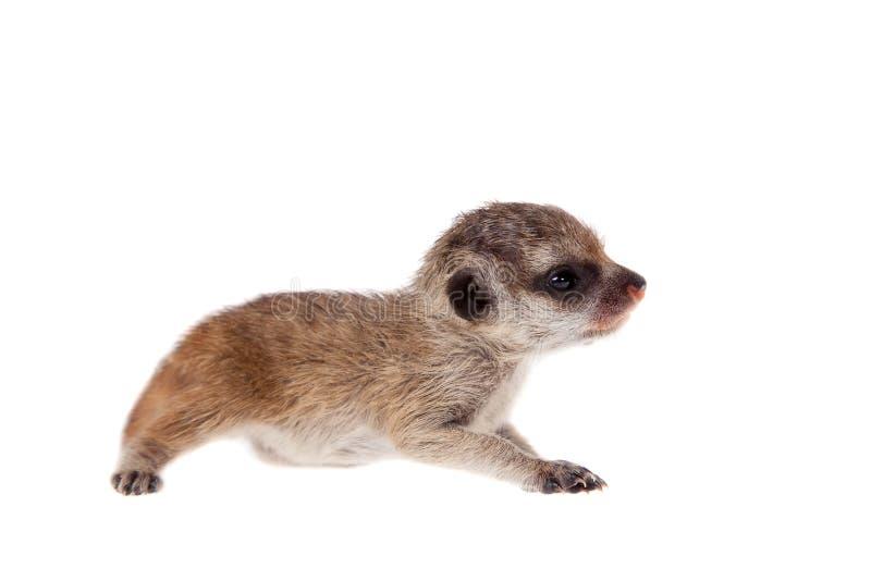 Новичок meerkat или suricate, 2 недели старой, на белизне стоковое изображение
