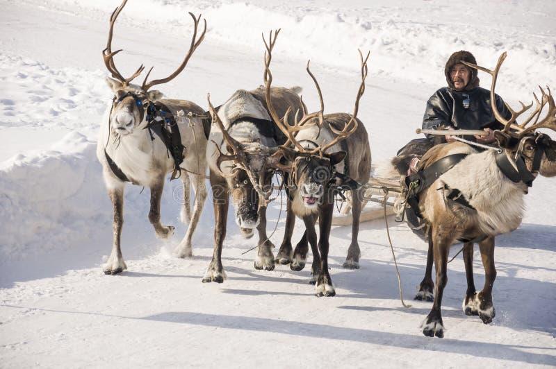 Новое Urengoy, YaNAO, к северу от России 1-ое марта 2016 Праздник северной национальности Человек Nenets и северные олени в зимне стоковые фото