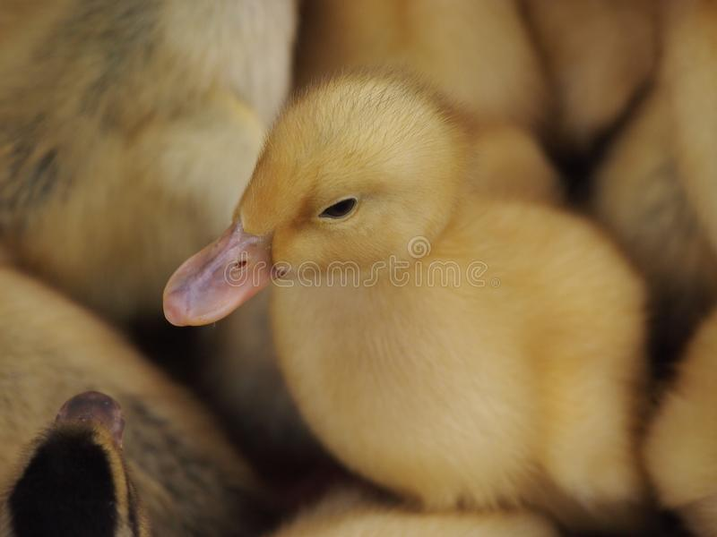 Ново - принесенные цыпленоки стоковая фотография rf