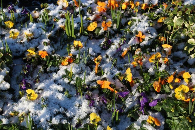 Новые заводы постельных принадлежностей в цветнике, снеге в зиме стоковые фото