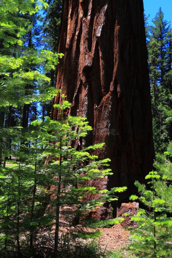 Новые и старые деревья Redwood стоковые изображения rf