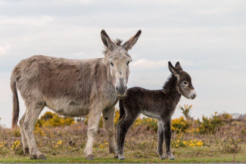 Новые мама ослов леса 2 и цвет младенца стоковое изображение rf