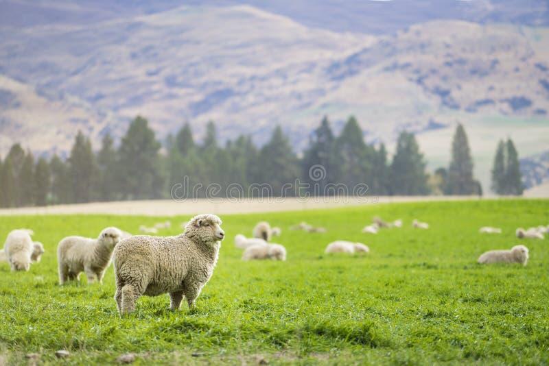 новые овцы zealand стоковые фото