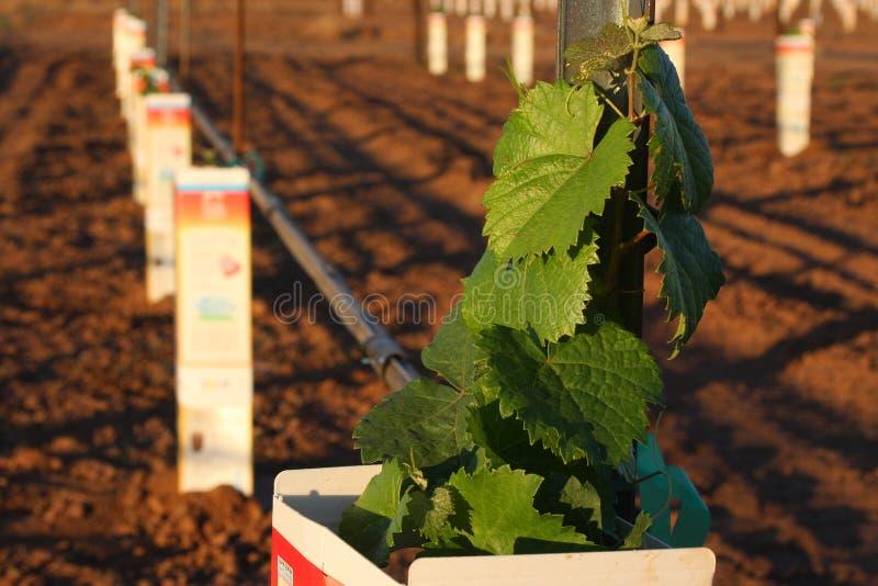 новый виноградник стоковые фото
